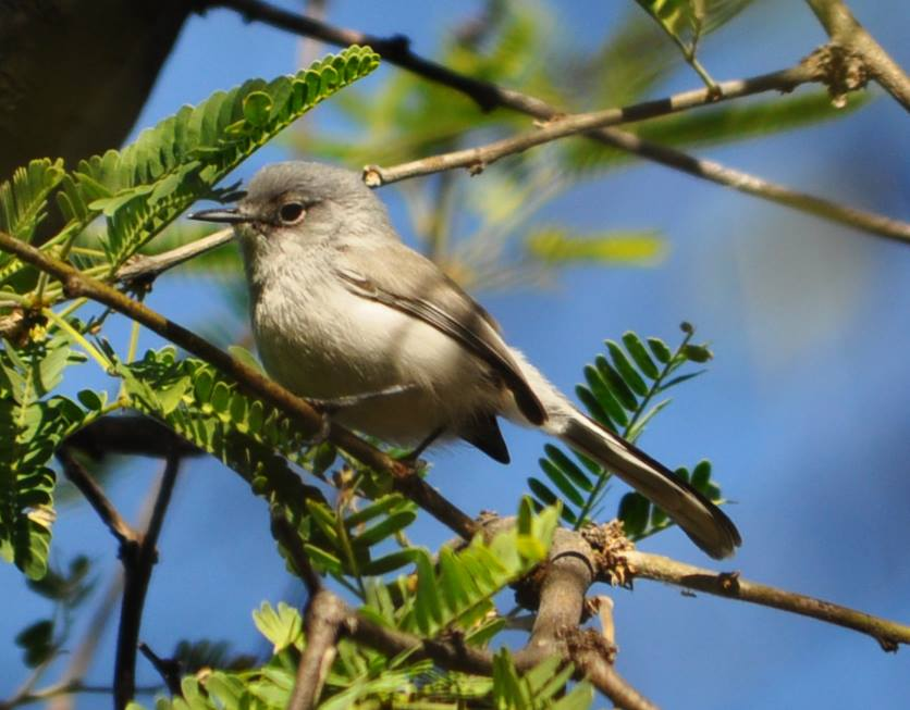 Black-capped Gnatcatcher © Katherine Cudney