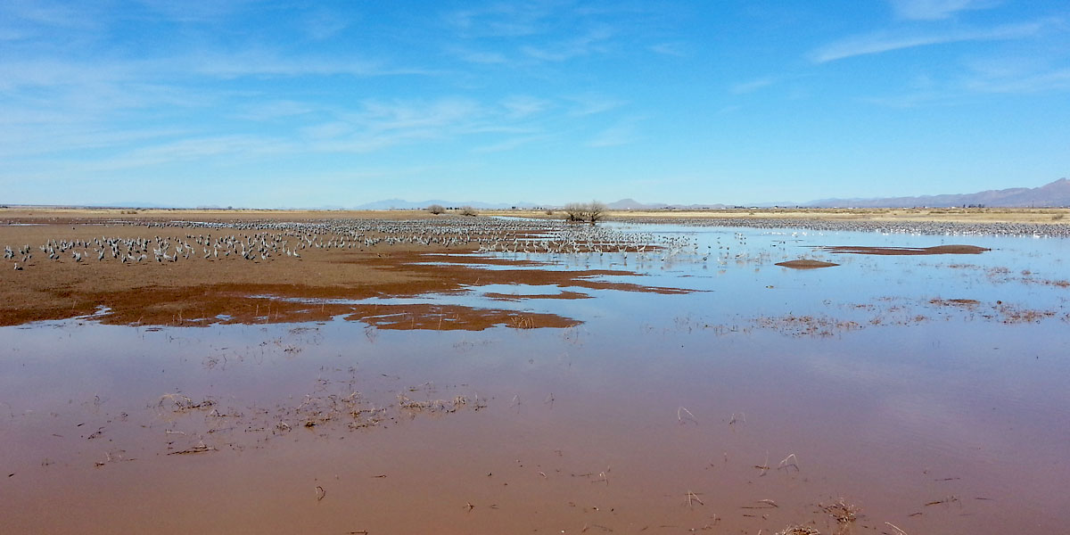 Sandhill Cranes, Snow Geese and Ross's Geese