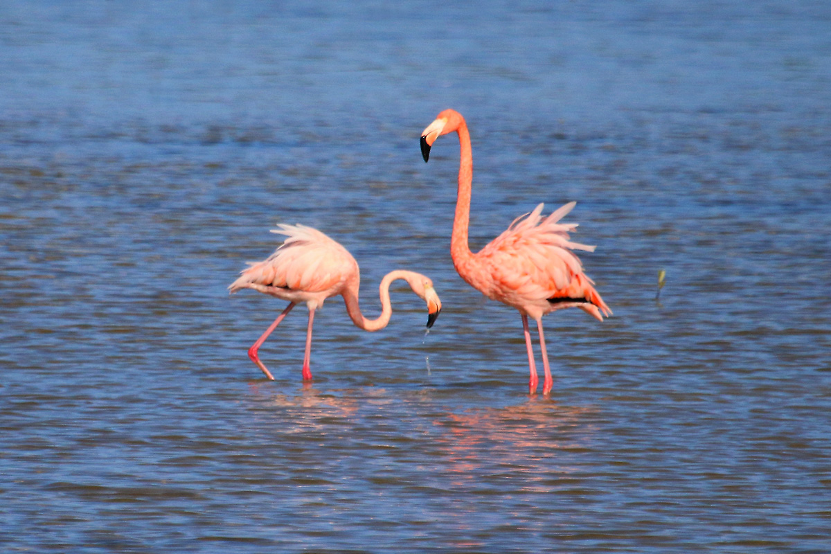 american flamingo American flamingo 120-145 cm 2100-4100 g wingspan 140-165 cm much brighter coloured than greater flamingo, adult has a pinkish-red head, neck and body plumage.