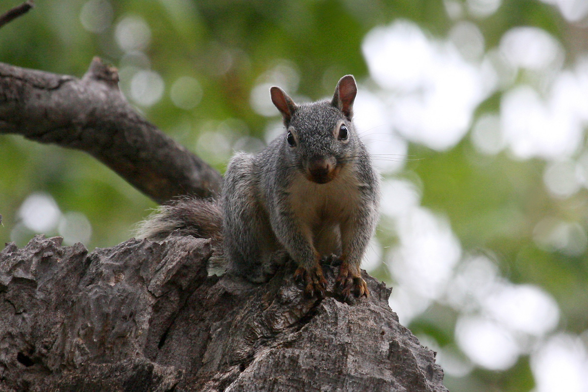 Arizona Gray Squirrel