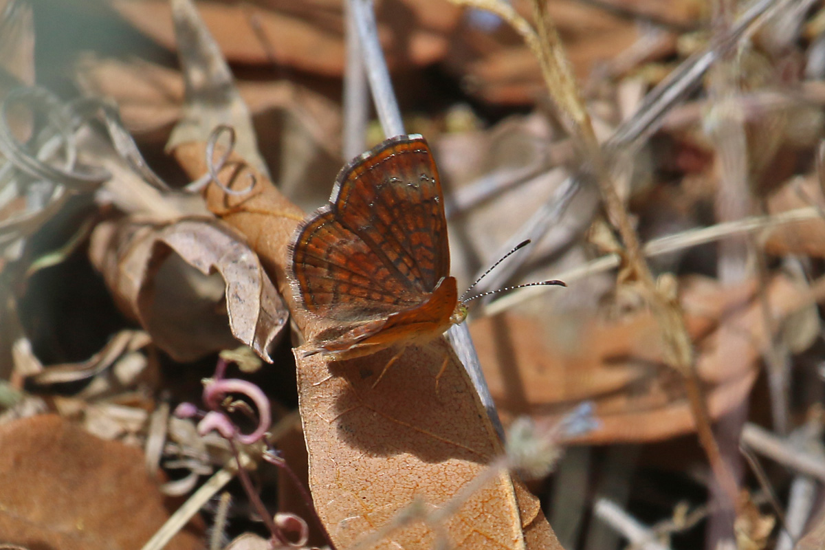 Arizona Metalmark