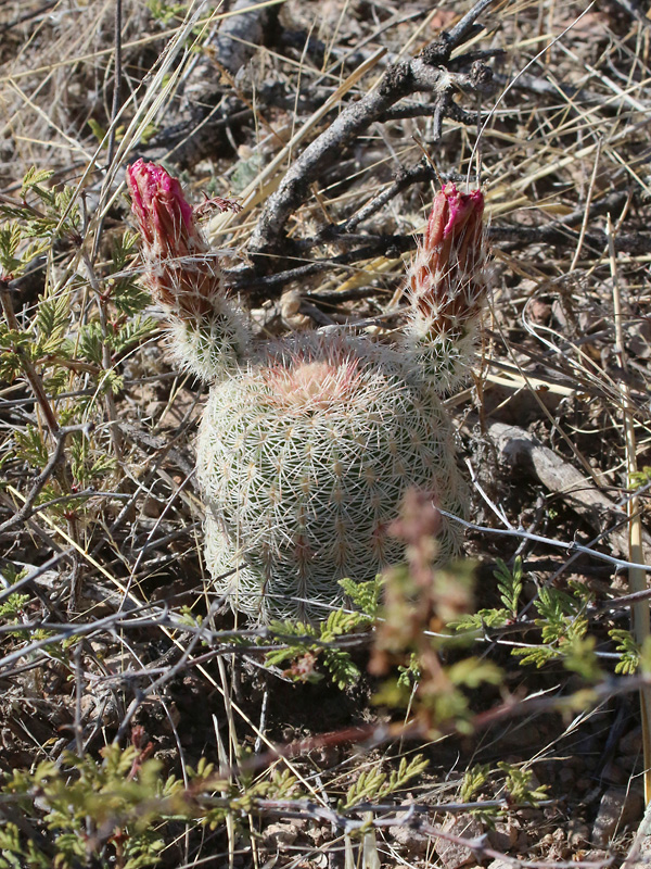 Arizona Rainbow Hedgehog Cactus
