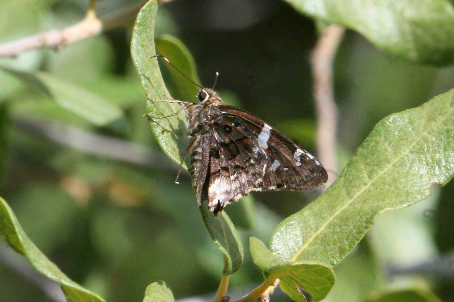 Arizona Skipper