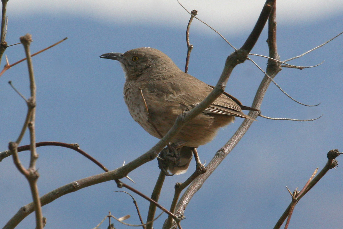 Bendire's Thrasher
