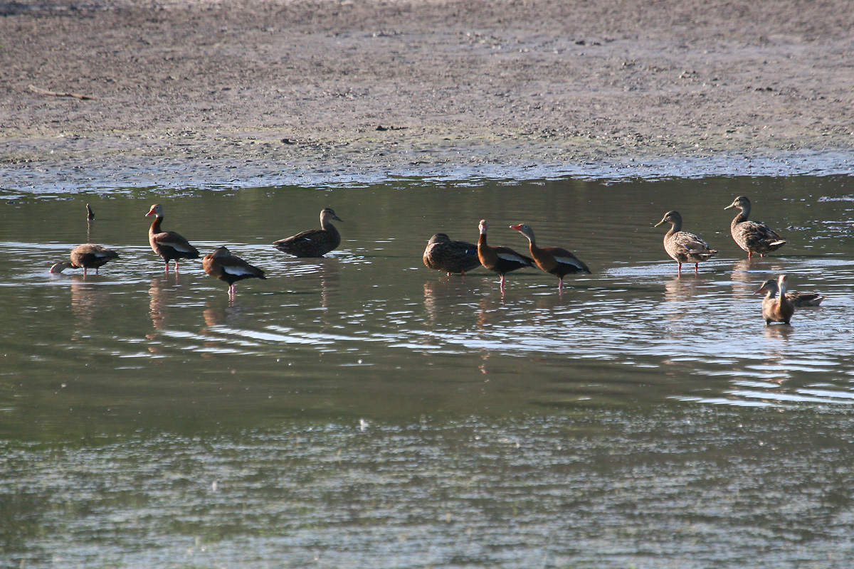 Black-bellied Whistling-Ducks and 'Mexican' Mallards (Mexican Ducks)