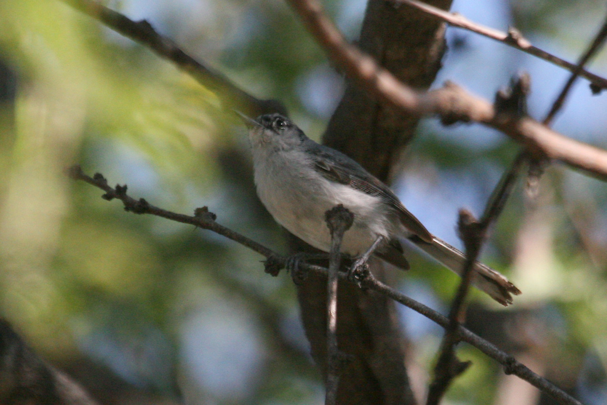 Male Black-capped Gnatcatcher