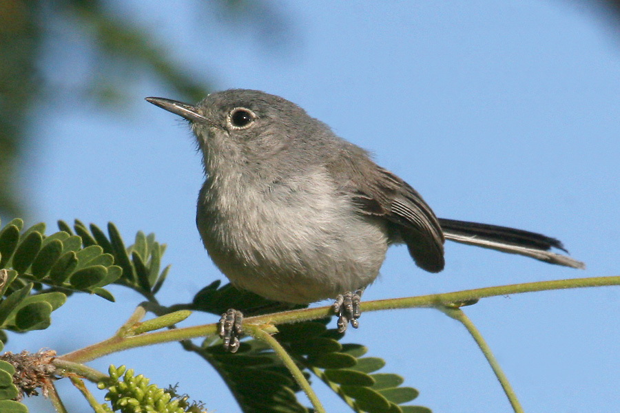 Female Black-capped Gnatcatcher