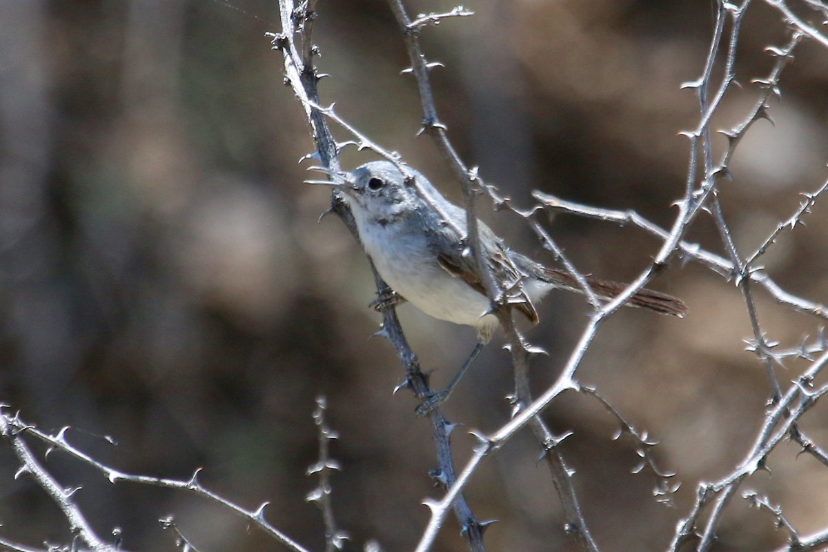 Black-capped Gnatcatcher