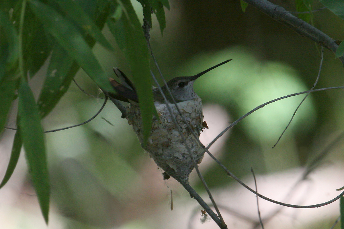 Black-chinned Hummingbird on nest