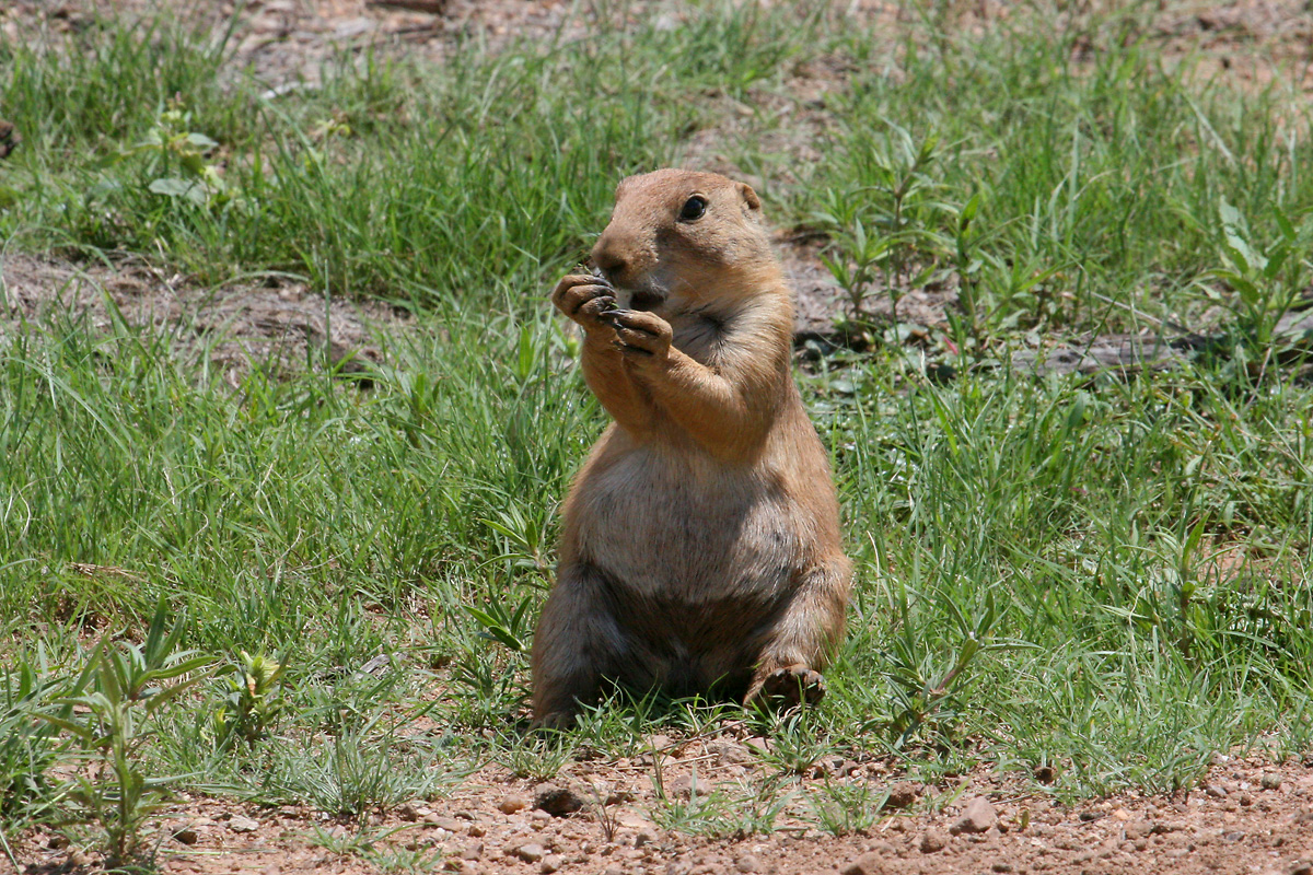 Black-tailed Prairie-Dog