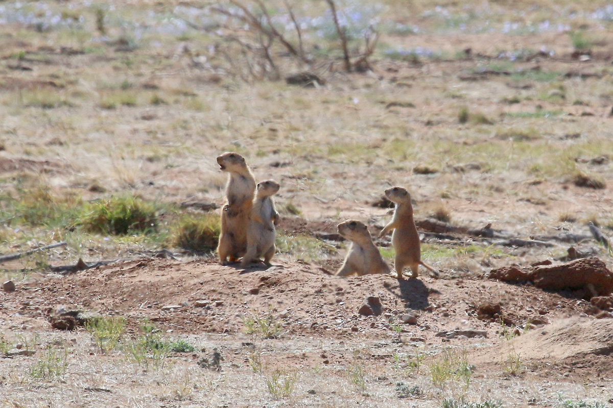 Black-tailed Prairie-Dogs