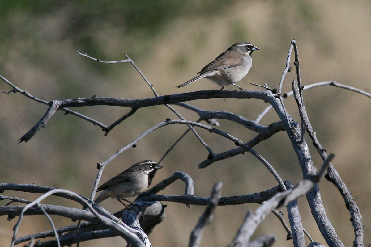 Black-throated Sparrows