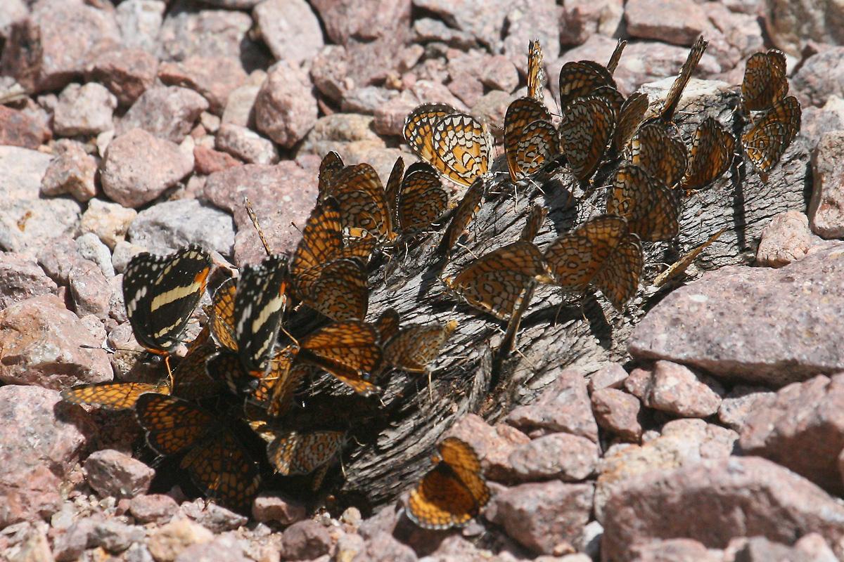 Bordered Patch and Checkerspots