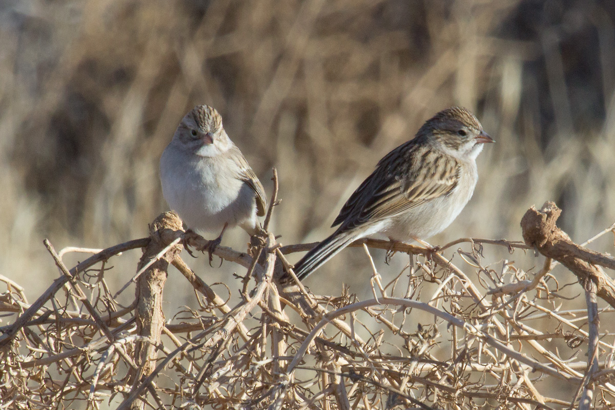 Brewer's Sparrows