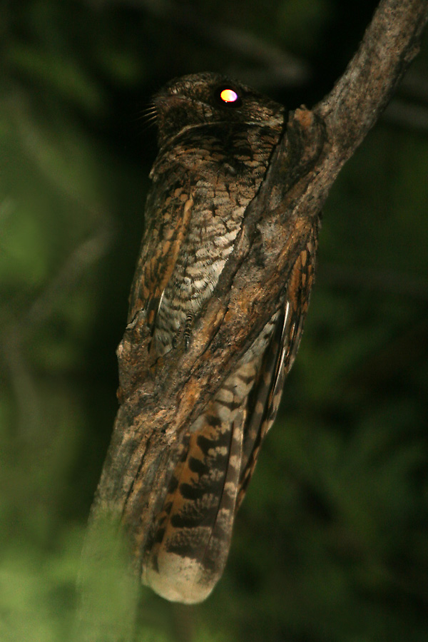 Female Buff-collared Nightjar