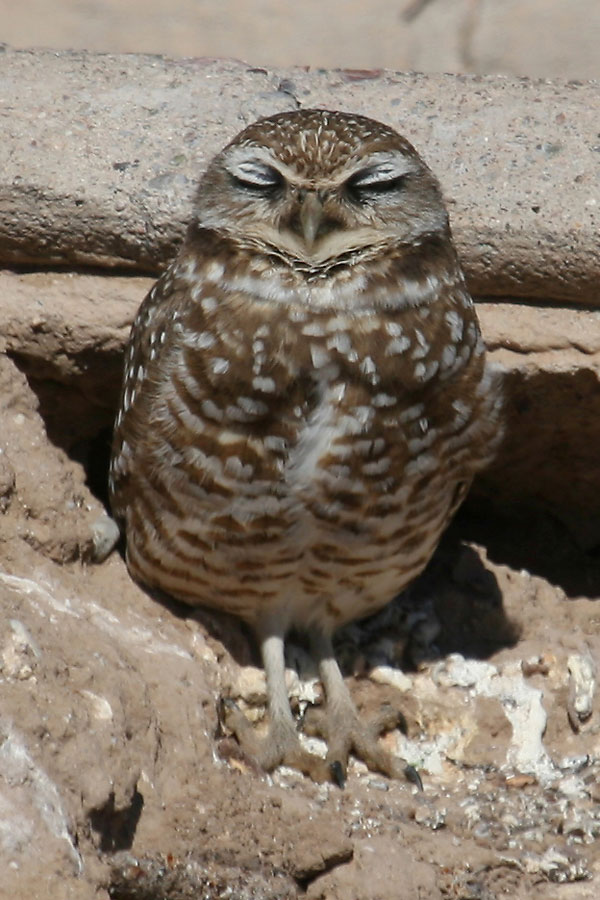 Burrowing-Owl-Santa-Cruz-Flats-13-0210-03-ED