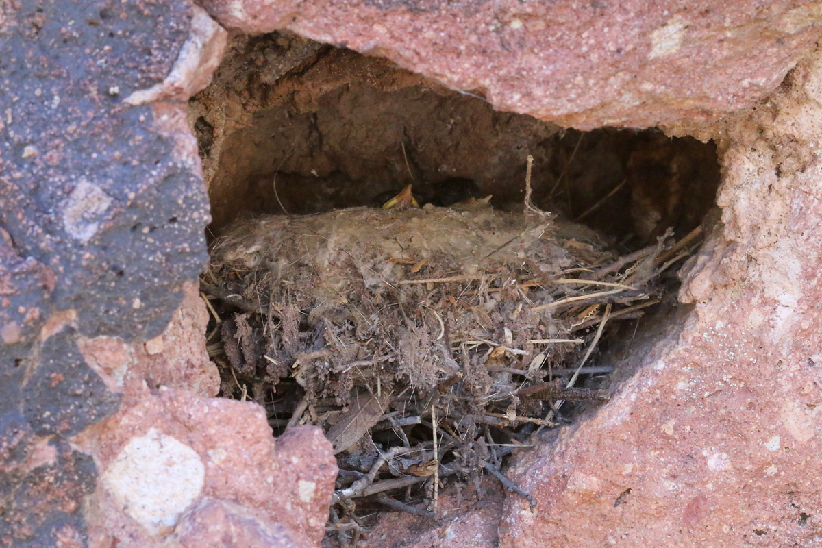 Canyon Wren nest