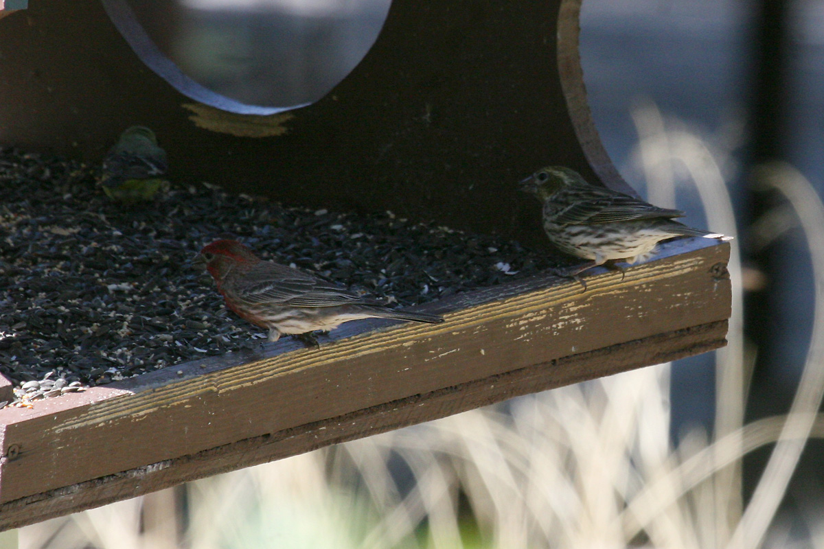 Female Cassin's Finch (right)