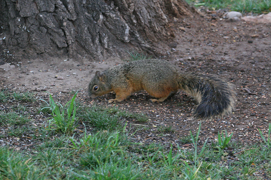 Chiricahua Fox Squirrel