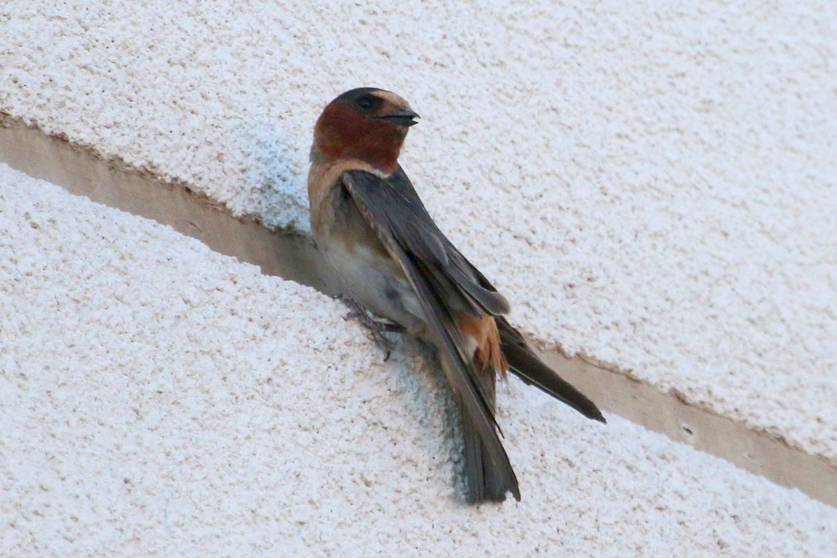 'Mexican' Cliff Swallow
