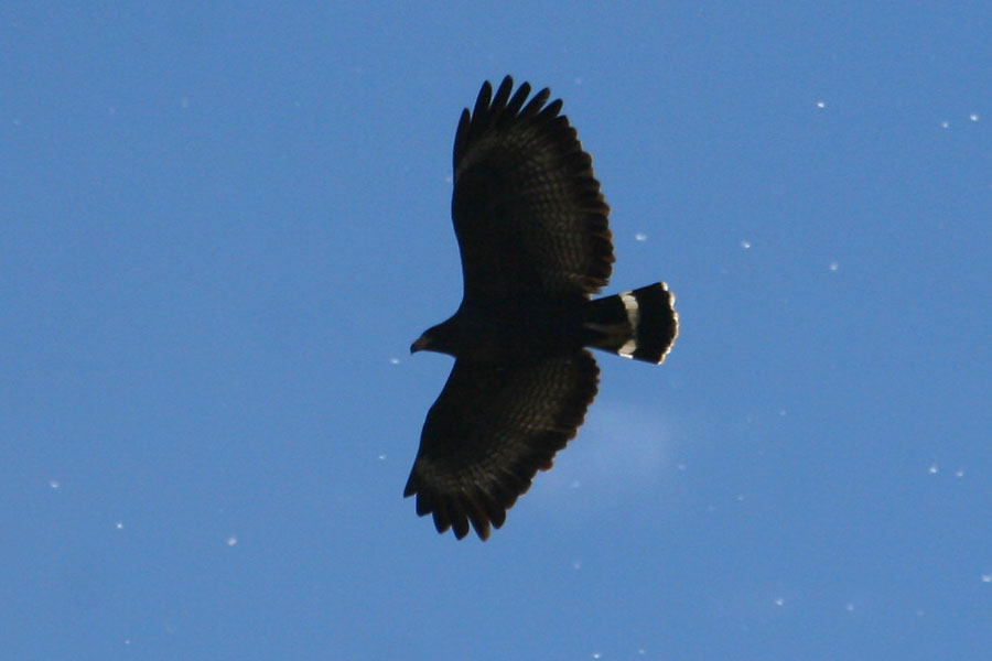 Adult Common Black Hawk