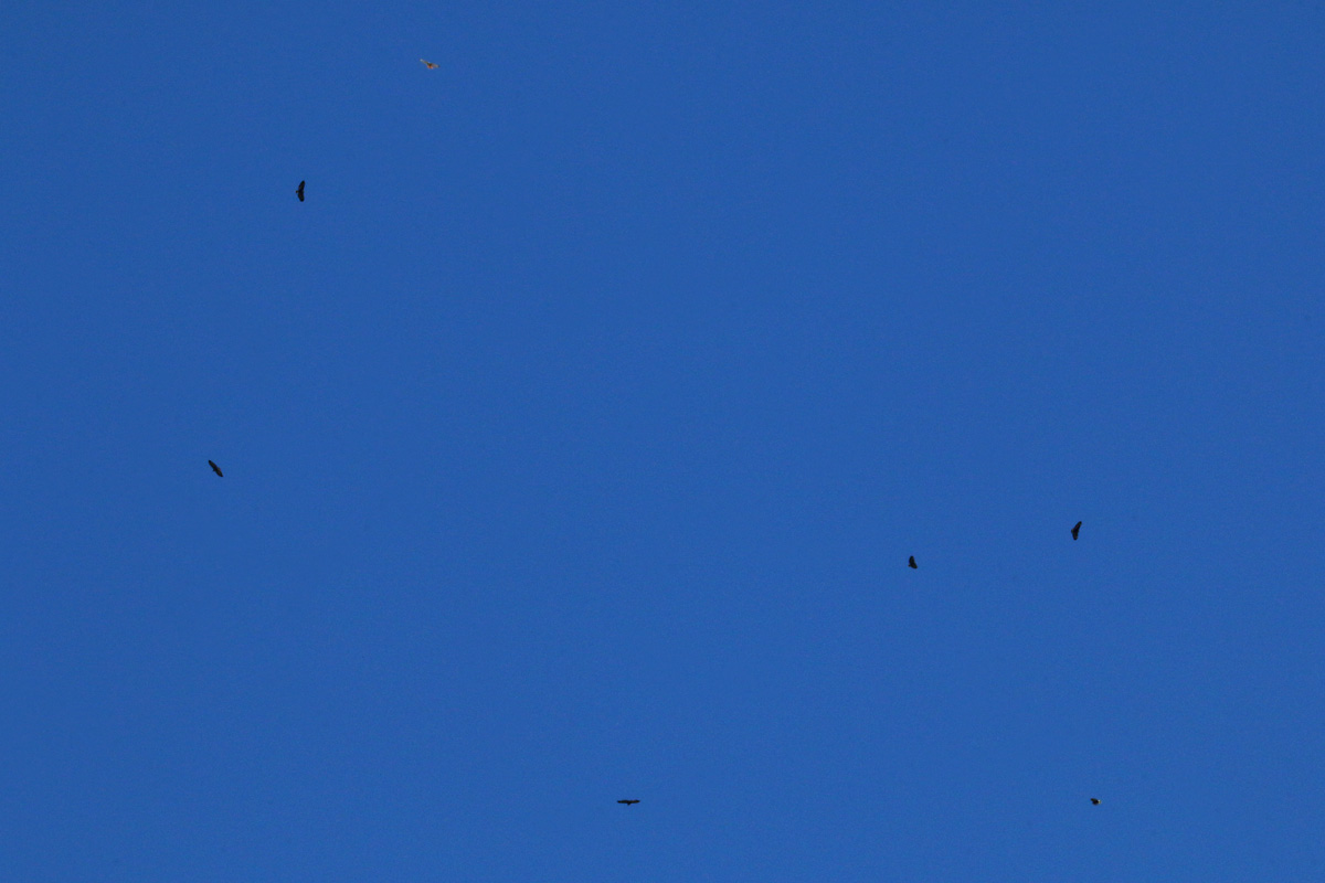 Common Black Hawks plus Red-tailed Hawk (top)