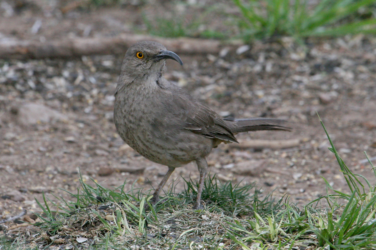 'Plateau' Curve-billed Thrasher