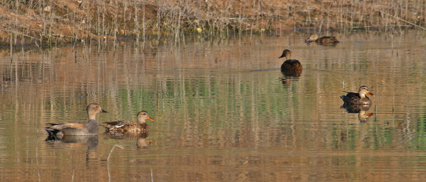 Gadwall (left), 'Mexican' Mallard (center and right), Cinnamon Teal (back)