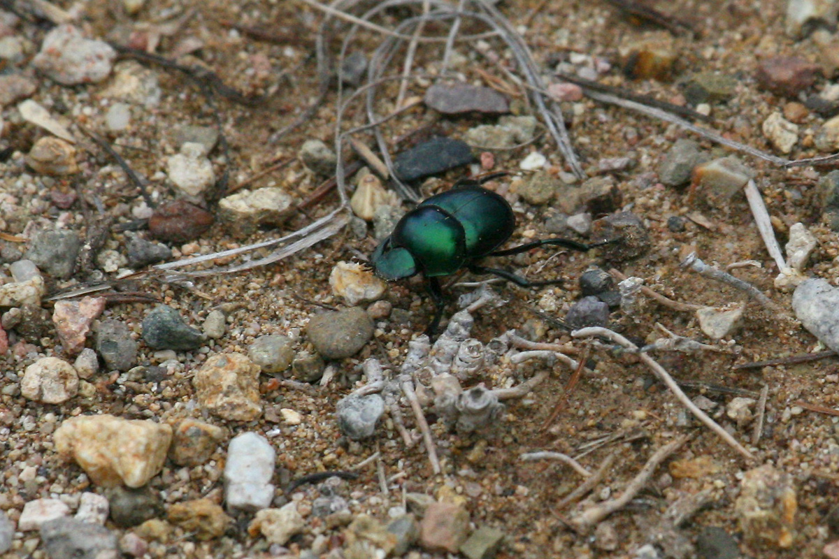 Dung Beetle sp.