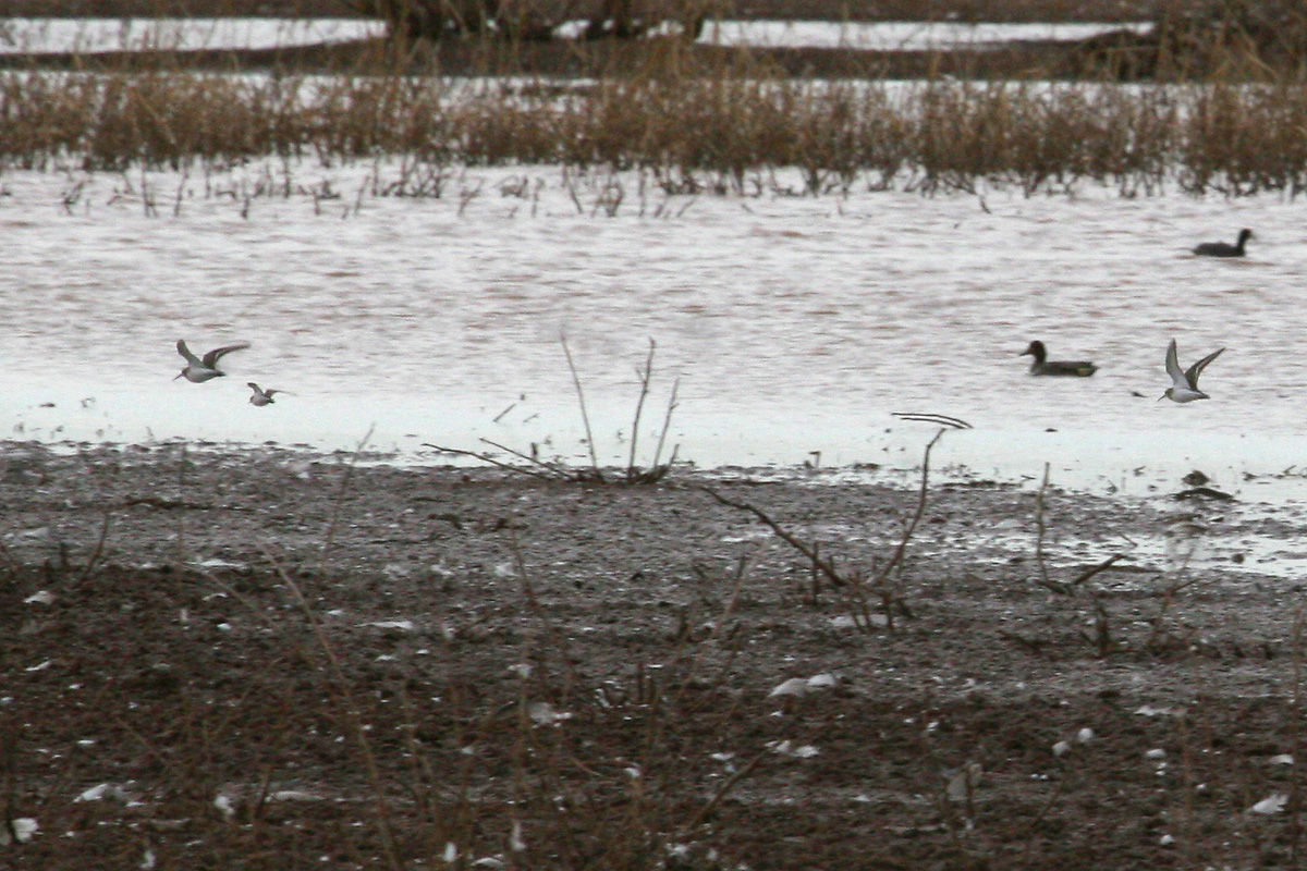 Dunlins (with Least Sandpiper)