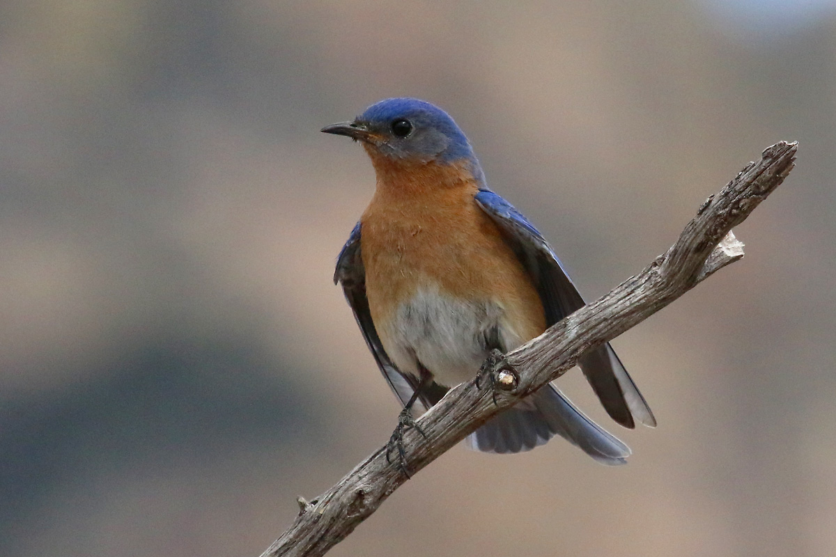 'Azure' Eastern Bluebird