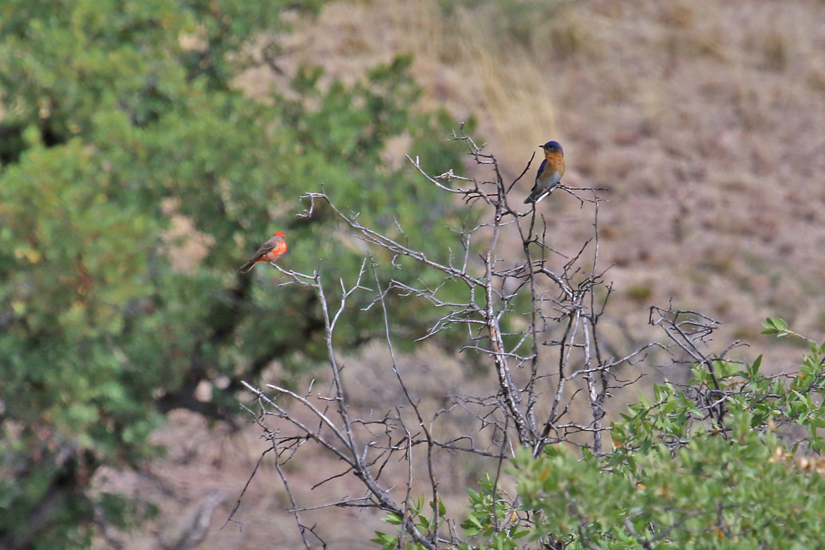 Vermilion Flycatcher (left) with 'Azure' Eastern Bluebird