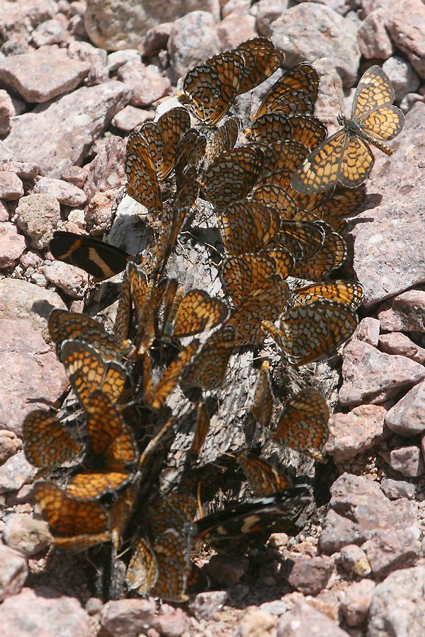 Elf and Checkerspots