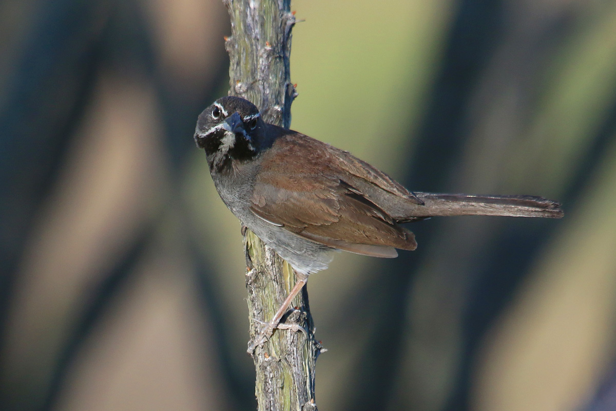 Five-striped Sparrow