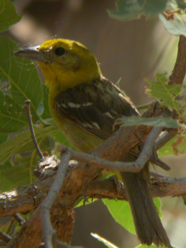 Female Flame-colored Tanager