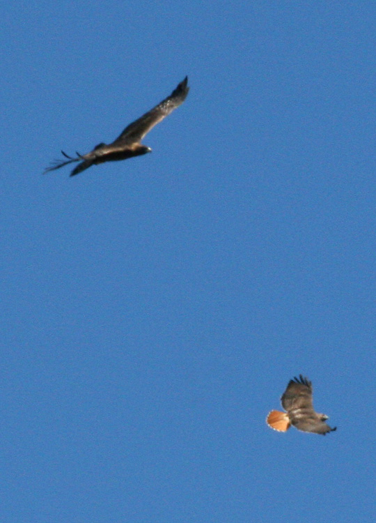 Golden Eagle and Red-tailed Hawk