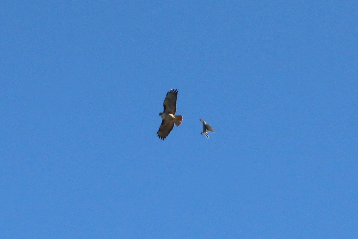 Gray Hawk and Red-tailed Hawk