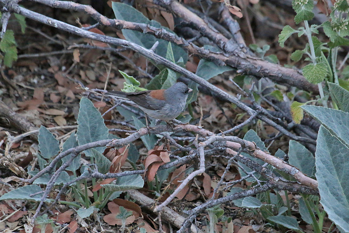 'Gray-headed' Dark-eyed Junco