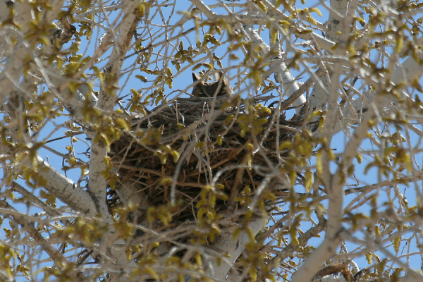 Great-Horned-Owl-Santa-Cruz-Flats-13-0210-01-ED
