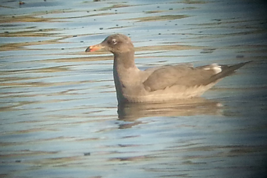 Heermann's-Gull-Amado-Pond-13-1011-11
