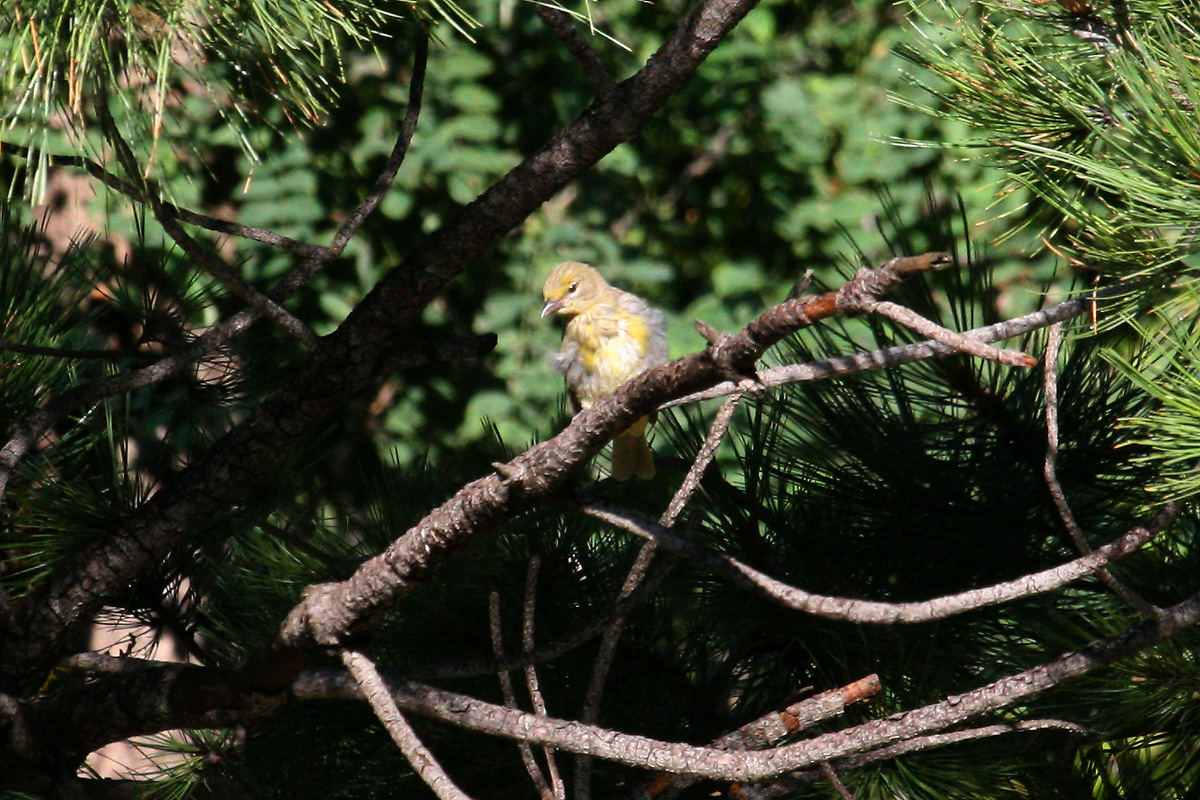 Juvenile Hepatic Tanager