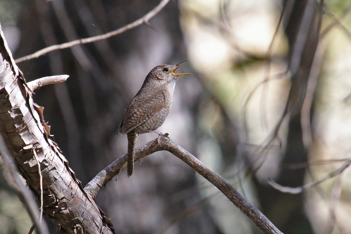 'Brown-throated' House Wren