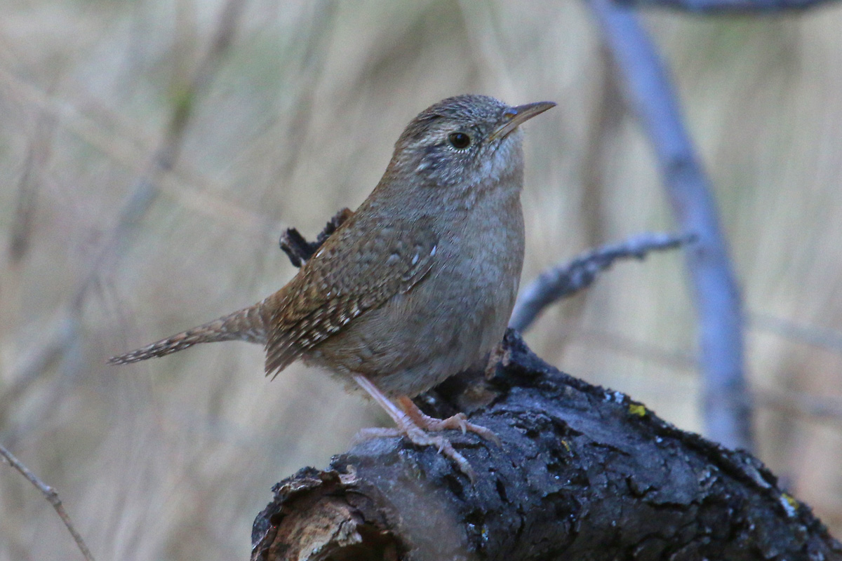 Brown-ish-throated House Wren