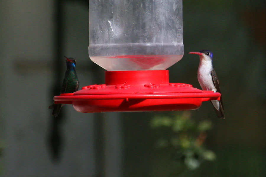 Broad-billed and Violet-crowned Hummingbirds