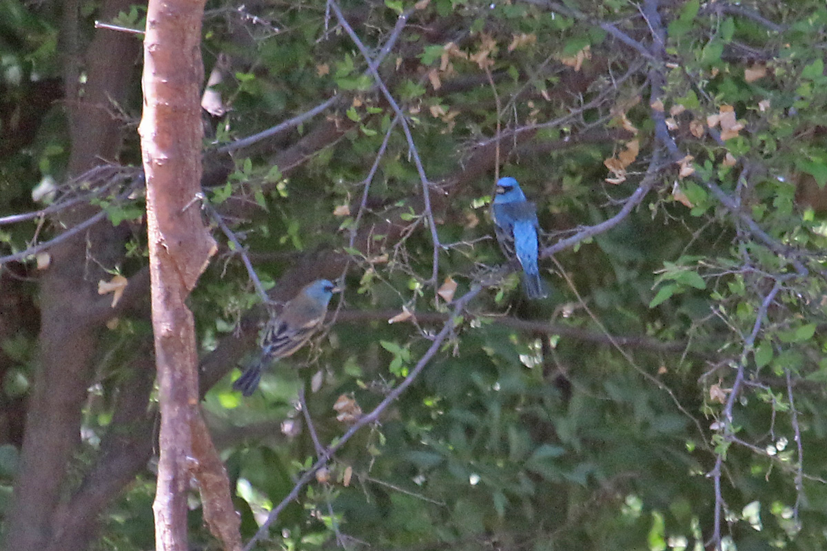 Lazuli Bunting (left) and Indigo Bunting (right)