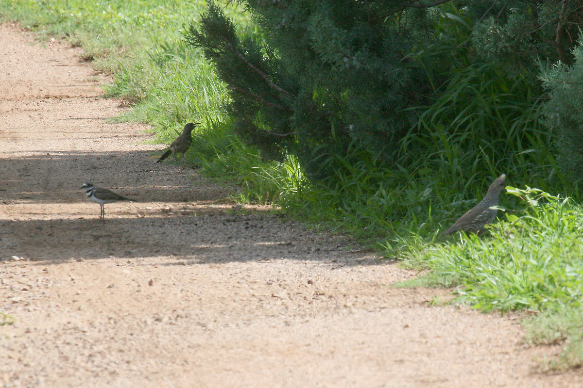 Killdeer, Curve-billed Thrasher, and Scaled Quail