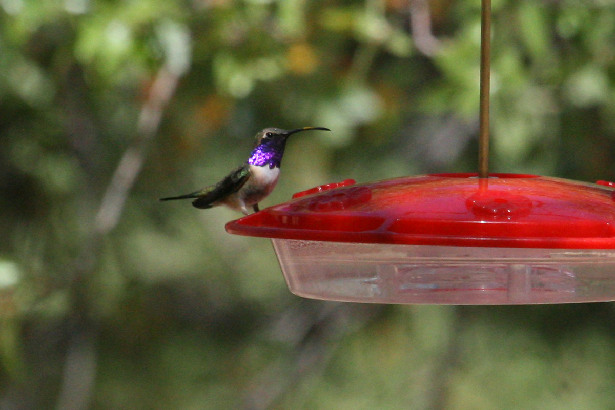 Male Lucifer Hummingbird
