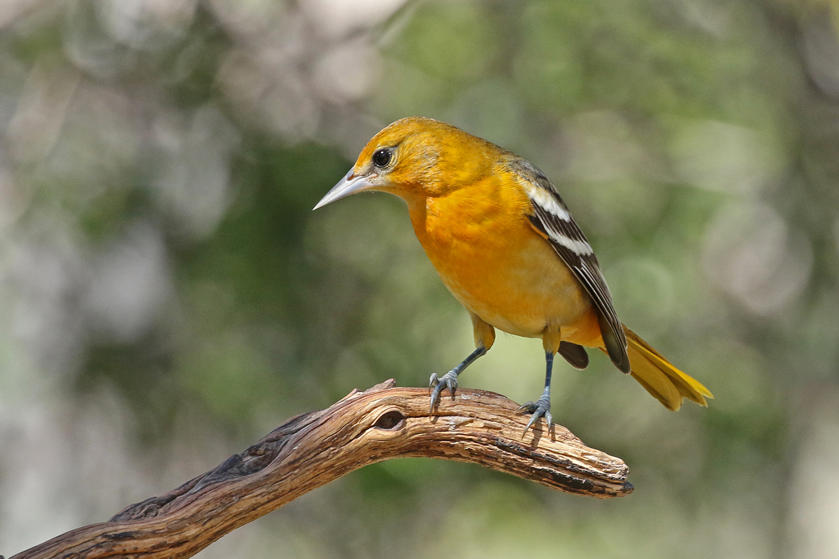 Baltimore Oriole © Mark Rossell
