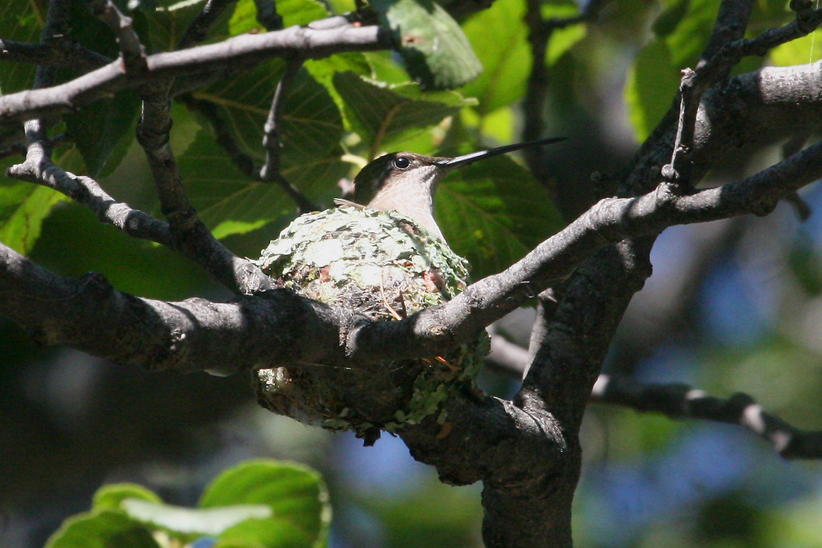 Female Magnificent Hummingbird on nest