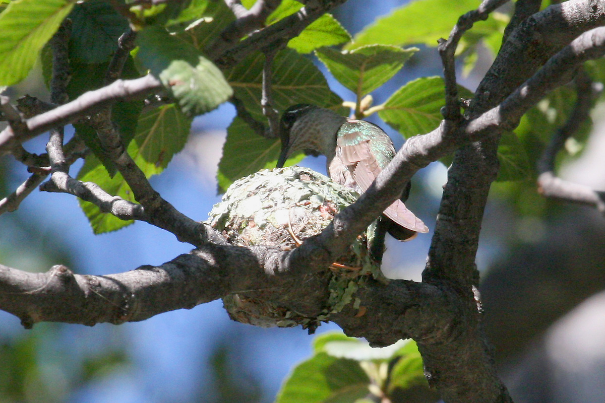 Female Magnificent Hummingbird feeding young on nest